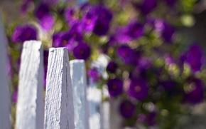 Картинка белый, фиолетовый, макро, цветы, фон, widescreen, обои, забор, размытие, ограждение, wallpaper, цветочки, широкоформатные, flowers, background, ...