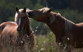 Обои лето, трава, кони