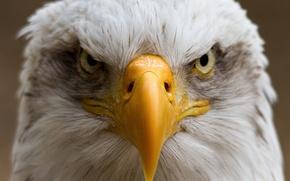 Картинка птица, портрет, клюв, орёл