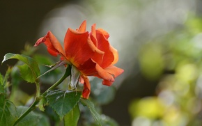 Обои природа, цветок, роза