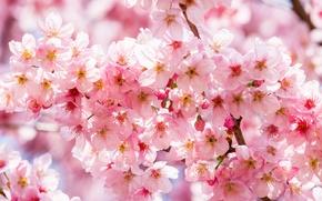 Обои вишня, сакура, ветки, весна, розовый