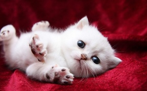 Картинка красный, подушечки, фон, коготочки, белый, котенок
