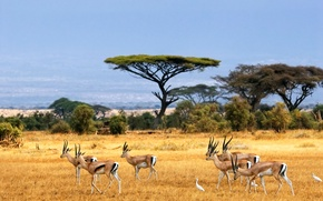 Обои пейзаж, саванна, Африка, antelopes, african landscape, Savanna, антилопы, safari