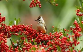Картинка ягоды, ветки, птица