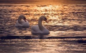 Картинка птицы, природа, лебеди