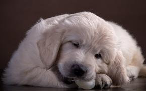 Картинка милый, щенок, ретривер
