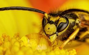 Картинка роса, оса, капля, насекомое, жёлтый цветок