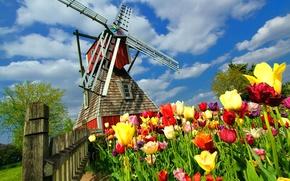 Картинка цветы, тюльпаны, Нидерланды, ветряная мельница