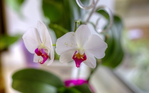 Картинка цветы, лепестки, белые, орхидеи