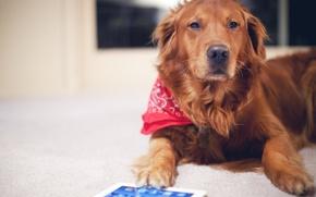 Картинка собака, рыжий, пес, планшет