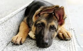 Картинка глаза, взгляд, морда, собака, цепь, лежит, ступеньки, уши, овчарка