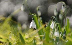 Картинка цветы, весна, подснежники, белые