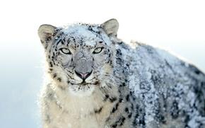 Обои Snow Leopard, ирбис, снег, снежный барс