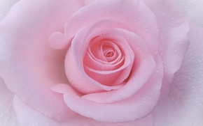 Обои бутон, макро, лепестки, роза, нежность