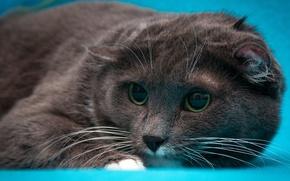 Картинка кошка, глаза, кот, взгляд, морда, серый, портрет, вислоухий, шотландский, обои от lolita777