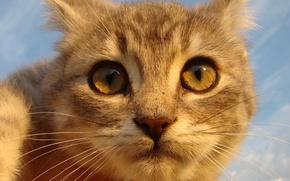 Обои рыжий, смотрит, кот