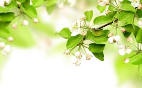 Картинка blossom, flowers, leaves, spring, apples, branches