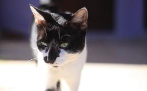 Обои взгляд, кошак, котяра, глаза