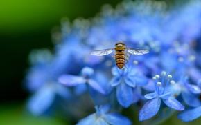 Картинка макро, цветы, природа, лепестки, размытость, голубые, насекомое, Гортензия
