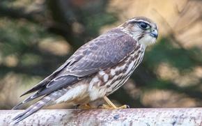 Картинка взгляд, птица, хищник, Сокол, профиль