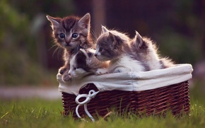 Картинка корзинка, котята, травка