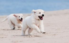 Картинка песок, собаки, пляж, макро, щенки, бег