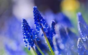 Картинка поле, макро, размытость, синие, Мускари