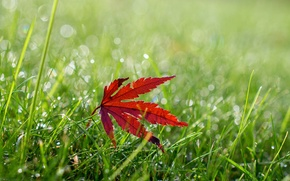 Картинка трава, макро, лист, роса