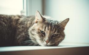 Картинка кошка, животные, красивая
