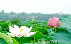 Картинка листья, цветы, лотос, водоем