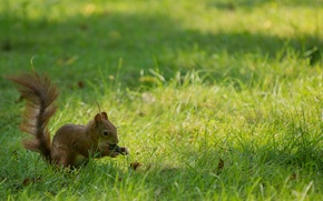 Обои трава, фон, widescreen, обои, орех, белка, wallpaper, grass, широкоформатные, background, грызун, полноэкранные, HD wallpapers, rodent, ...