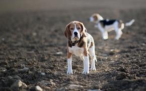 Картинка поле, собаки, бигли