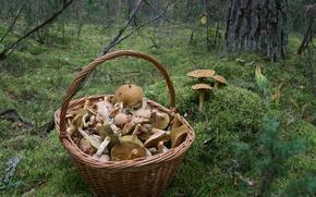 Картинка осень, лес, природа, фон, обои, грибы, мох, прогулка, корзина с грибами