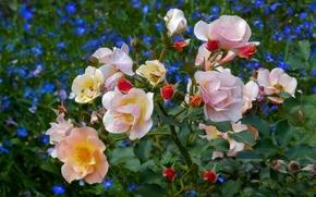 Картинка цветок, лето, цветы, widescreen, обои, поляна, куст, wallpaper, широкоформатные, background, обои на рабочий стол, полноэкранные, ...
