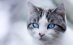 Картинка кошка, портрет, взгляд, мордочка, голубые глаза, кот