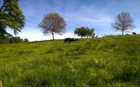 Картинка white, grass, black, trees, hill, meadow, switzerland, sunny, cows, graze