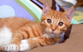 Картинка кошка, глаза, взгляд, котенок, фон, портрет, рыжий, лежит