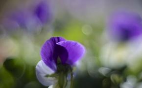 Картинка макро, цветы, блики, лепестки, размытость, белые, сиреневые, фиалка, Анютины глазки