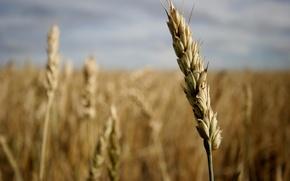 Обои поле, зерно, колос