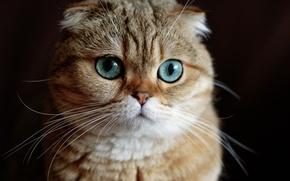Картинка кошка, взгляд, мордочка, чёрный фон, скоттиш-фолд, Шотландская вислоухая кошка