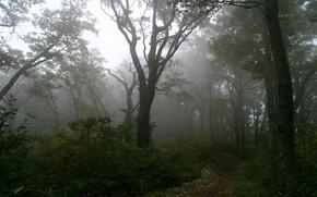 Обои дерево, тропинка, лес, туман