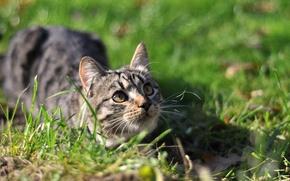 Картинка осень, кошка, кот, поза