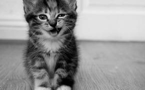 Обои котенок, хихикает, серый