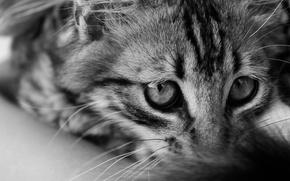 Картинка кошка, глаза, кот, взгляд, котенок, пушистый