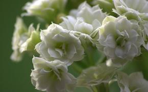 Обои лепестки, соцветие, цветок, природа