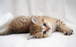 Картинка котенок, лапочка, глаза