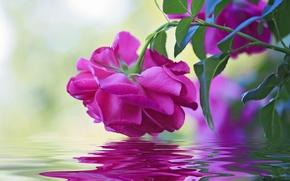 Картинка вода, макро, отражение, роза, бутон