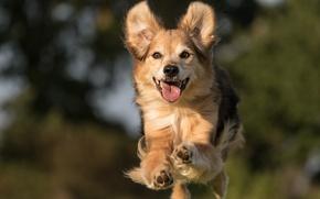Картинка радость, настроение, прыжок, собака