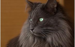 Картинка кошка, кот, взгляд, фон, чёрный, widescreen, обои, wallpaper, black, широкоформатные, cat, background, look, полноэкранные, HD …