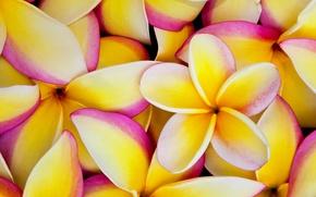 Картинка цветы, краски, лепестки, плюмерия